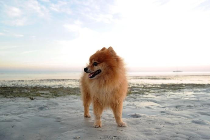 en pomeranian på stranden