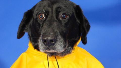 Dog Raincoat Cover Image