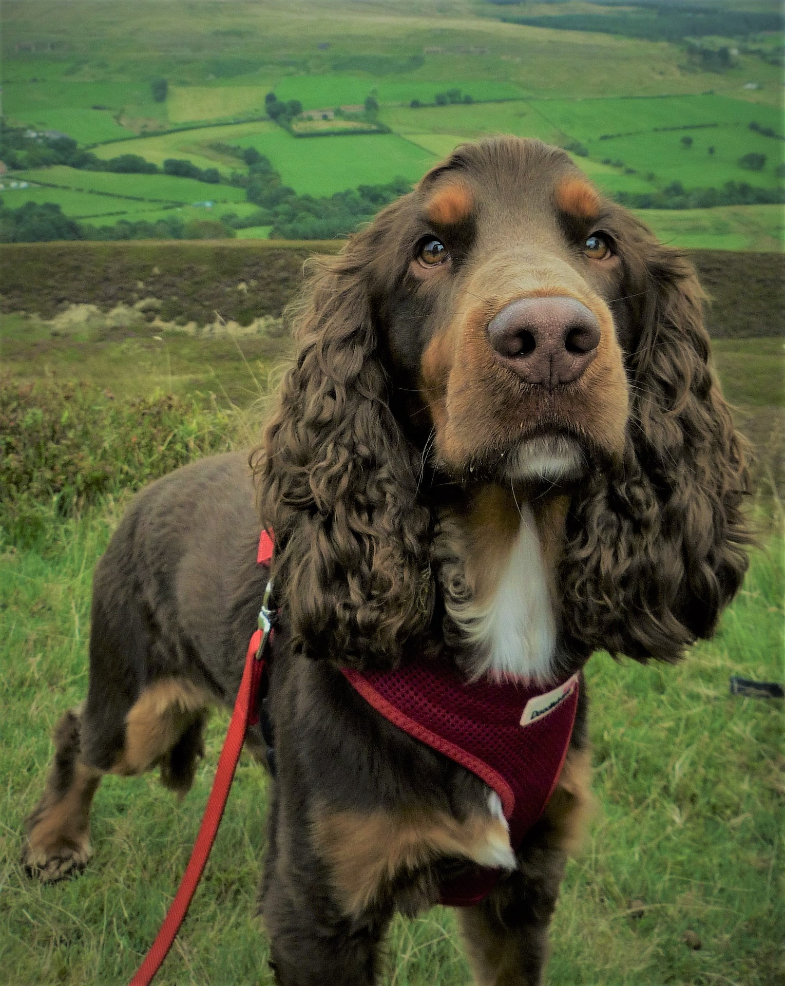 Cockspaniel Hair Cuts and Grooming Tips for the Breed