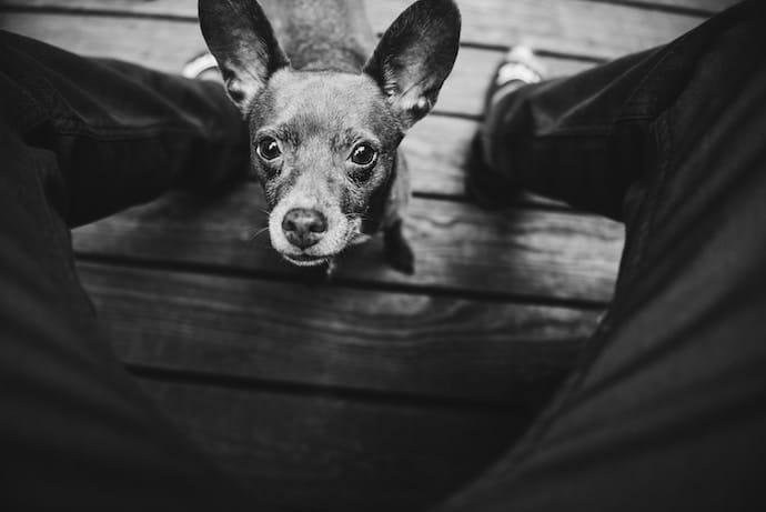 vieux chien qui regarde son maître