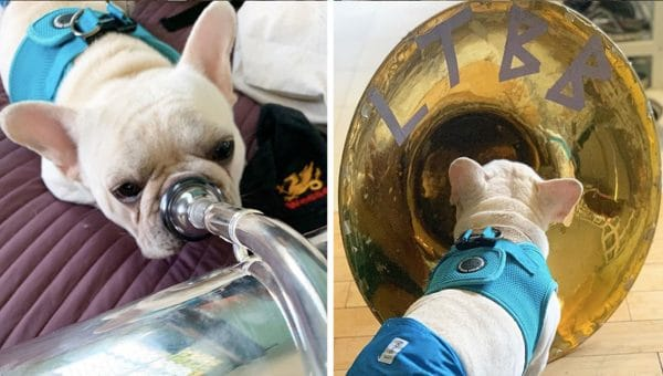 Adorable Frenchie Can't Resist Borking Back at Tuba