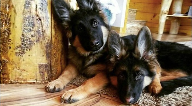 9 Dog Breeds With Pointy Ears And Why We Love Them The Dog People By Rover Com