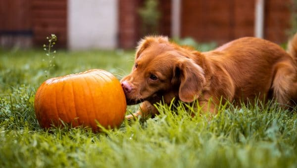 Is Canned Pumpkin Good for Dogs and Cats?