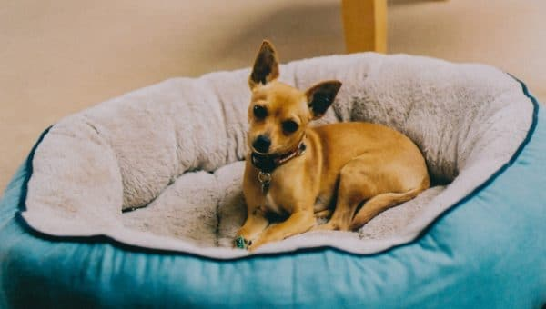 10 av de minsta hundarna i världen