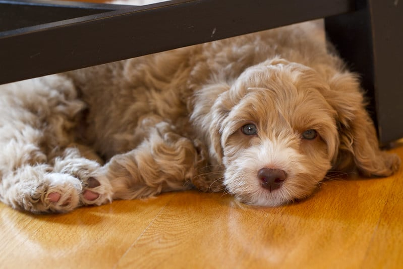 What are the differences - Goldendoodle Versus Labradoodle ? 1