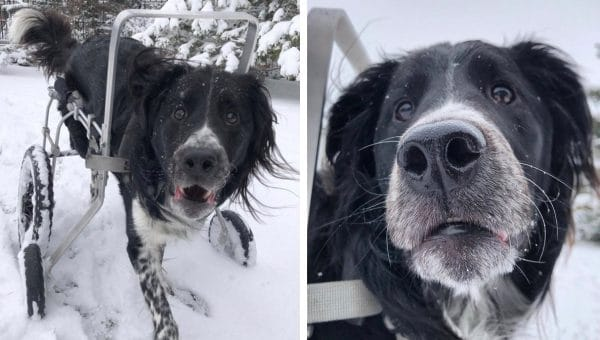 Watch This Awesome Wheelchair Dog's Incredible First Snow Day of the Year [Video]