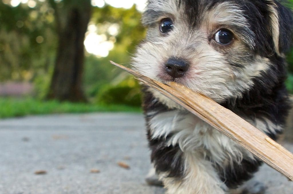 Morkie Dogs Essential Facts On The Maltese Yorkie Mix For New Owners