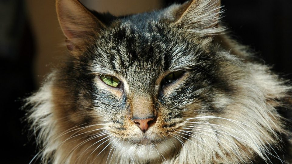 14 Rare Cat Breeds You Ve Probably Never Heard Of