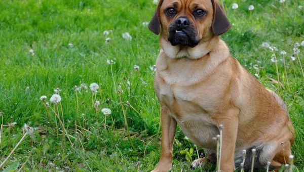 8 Things Only Puggle People Truly Understand