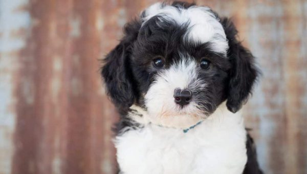 9 Facts Only Sheepadoodle People Understand