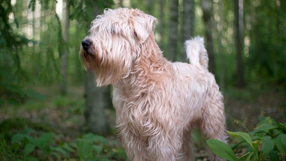 Top 105 Soft Coated Wheaten Terrier Names The Dog People By Rover Com