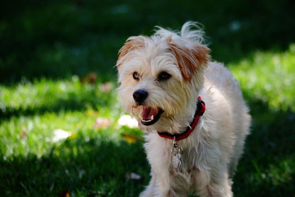 Yorkiepoo Dogs Fun Facts History And
