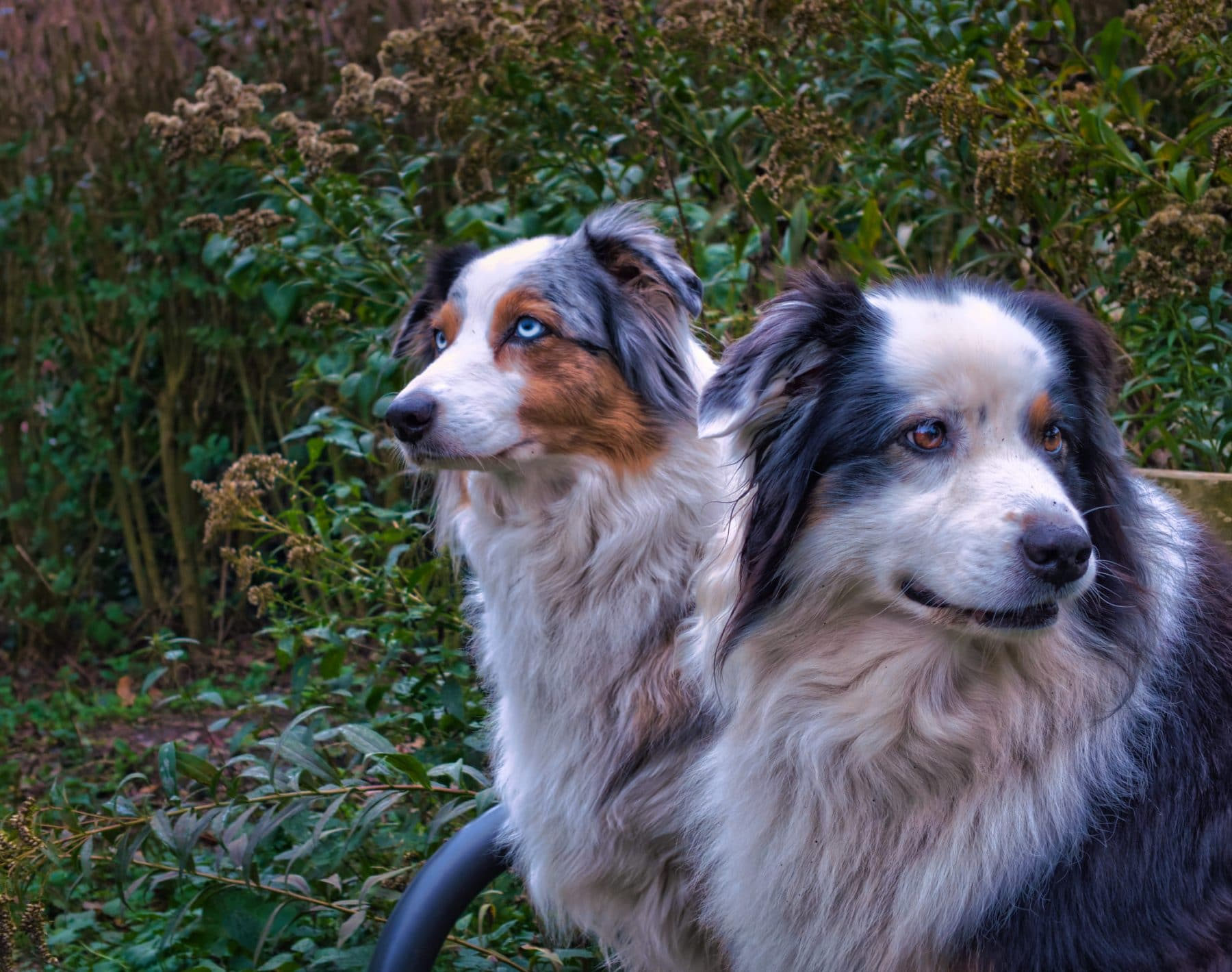 Australian Shepherd Grooming: The Essential Guide