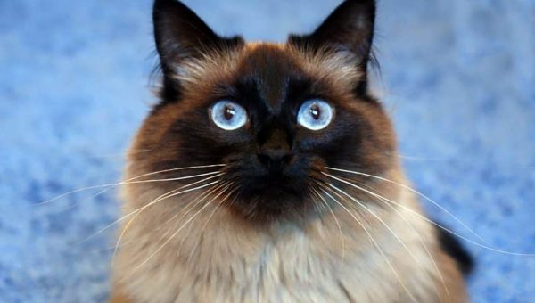 6 Facts Only Real Fans of the Ragdoll Cat Know