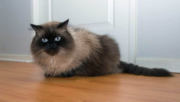 How Much Do You Really Know About the Himalayan Cat?