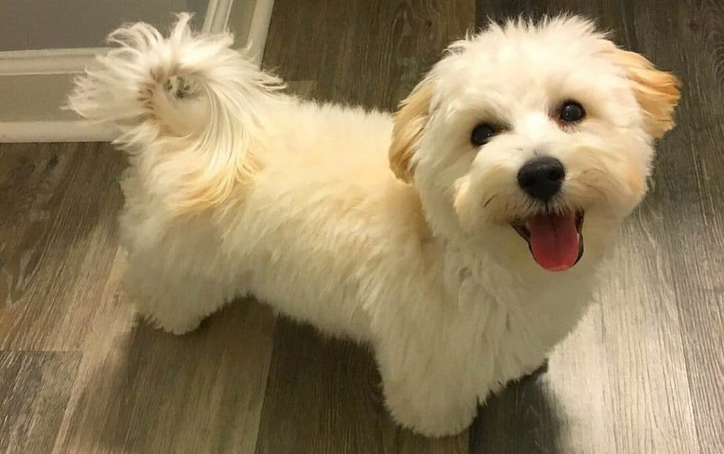 Maltipoo Haircuts Grooming Tips And Styling Suggestions
