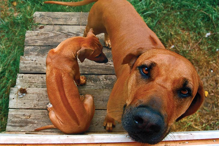 Top 120 Rhodesian Ridgeback Names The Dog People By Rover Com