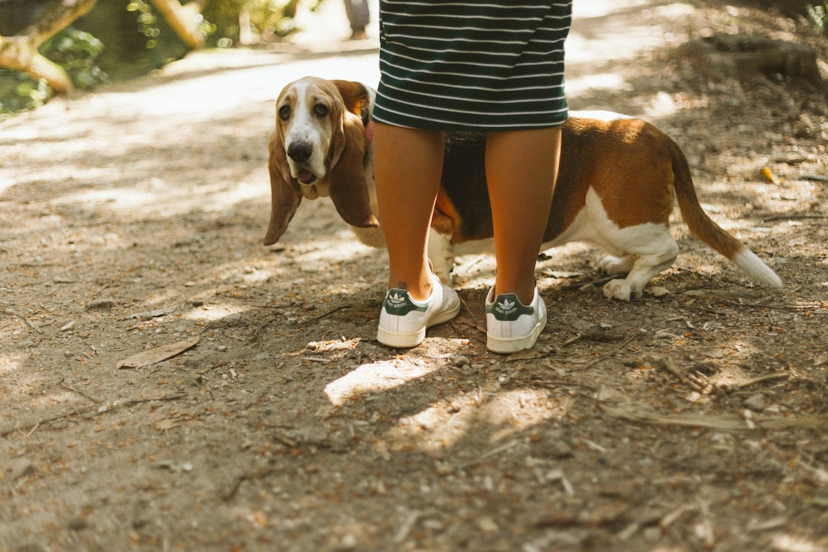 A small hound peeking out from behind a human's legs.