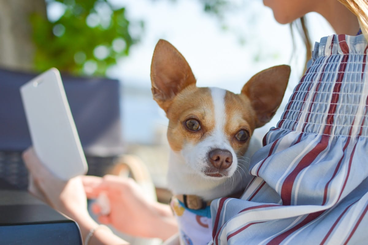 A small dog sitting in a person's lap.