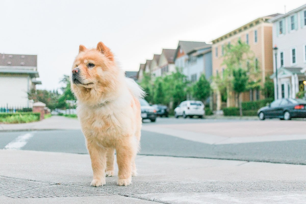 A Chow Chow standing along a street in San Francisco.