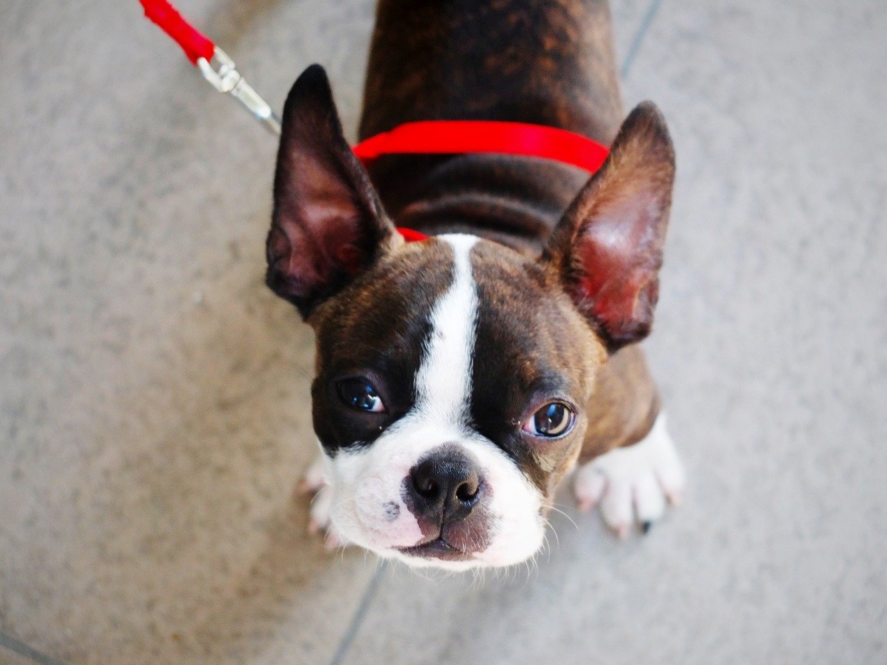 Boston Terrier Puppies Why A Boston May Be Perfect For You