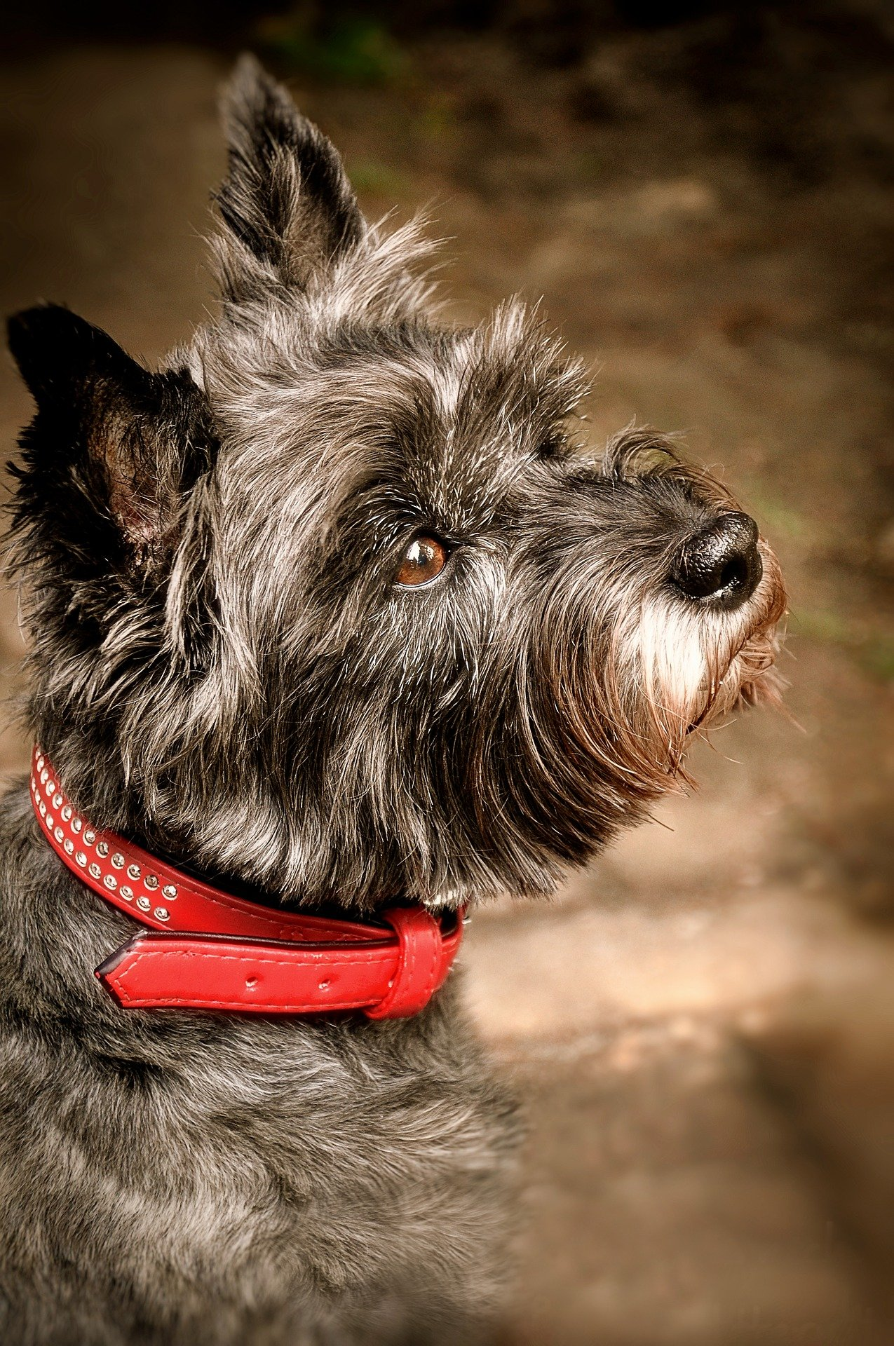 Cairn Terrier Grooming The Essential Guide With Pictures Of Haircut Styles
