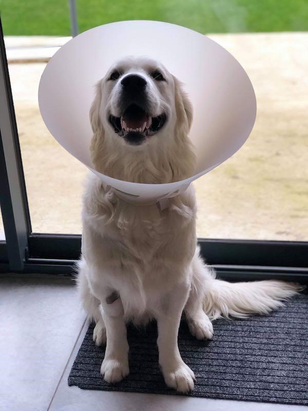 chien avec cone qui vient d'être castré
