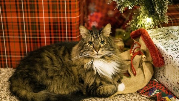 Cat and Christmas Tree - Pixabay