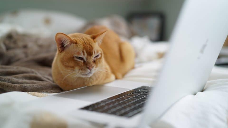 orange cat sitting at laptop