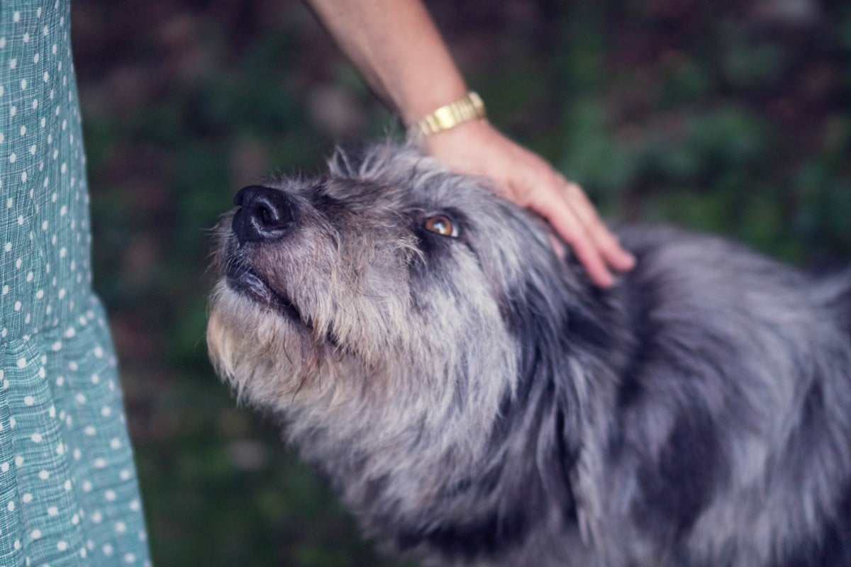 A blue, mid-size terrier looking upward at a person petting her on the head.