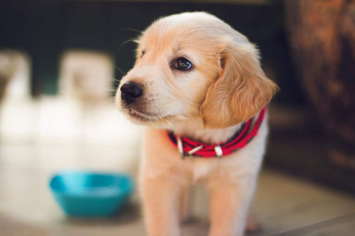 A puppy with a red collar looking off to the side.