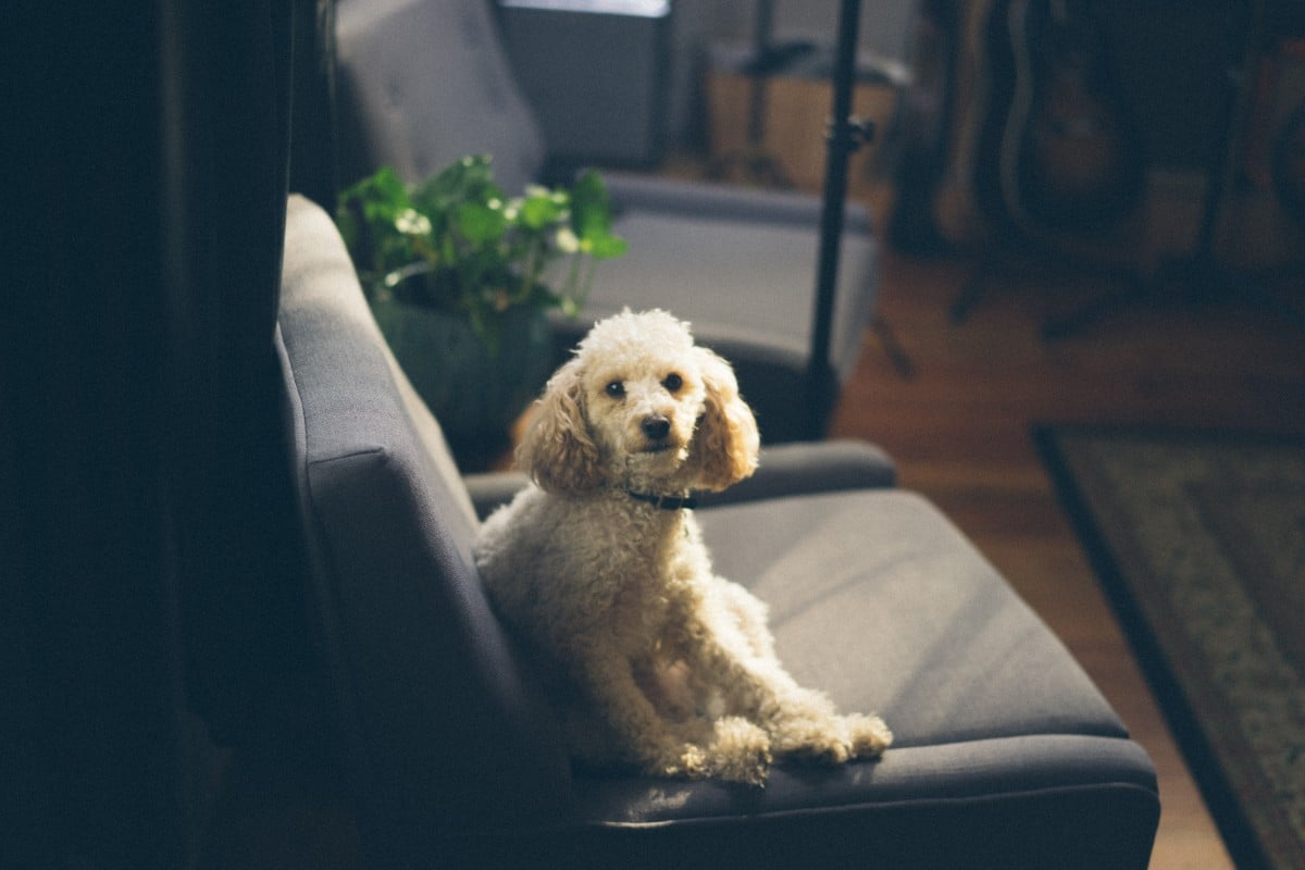A poodle or poodle-mix sitting on a couch, looking upward.