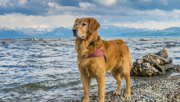 Golden Retriever Grooming: The Essential Guide with Pictures of Haircut Styles