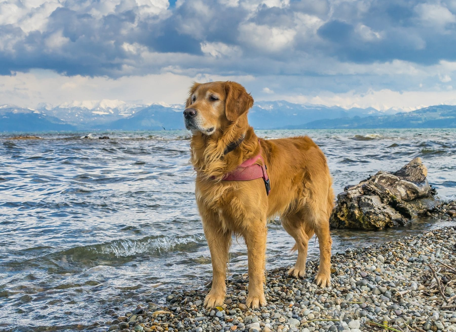 Golden Retriever Grooming: The Essential Guide with Pictures of