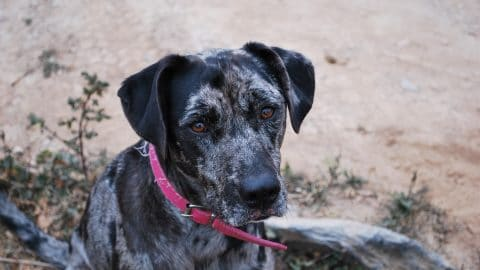 catahoula leopard dog looks at the camera in an article about catahoula names