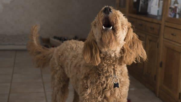 Finn ut hva hundens bjeffing egentlig betyr: En veiviser til hundelyder