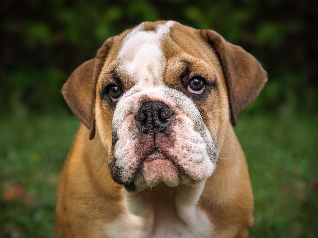 English Bulldog Puppies Breed Info And
