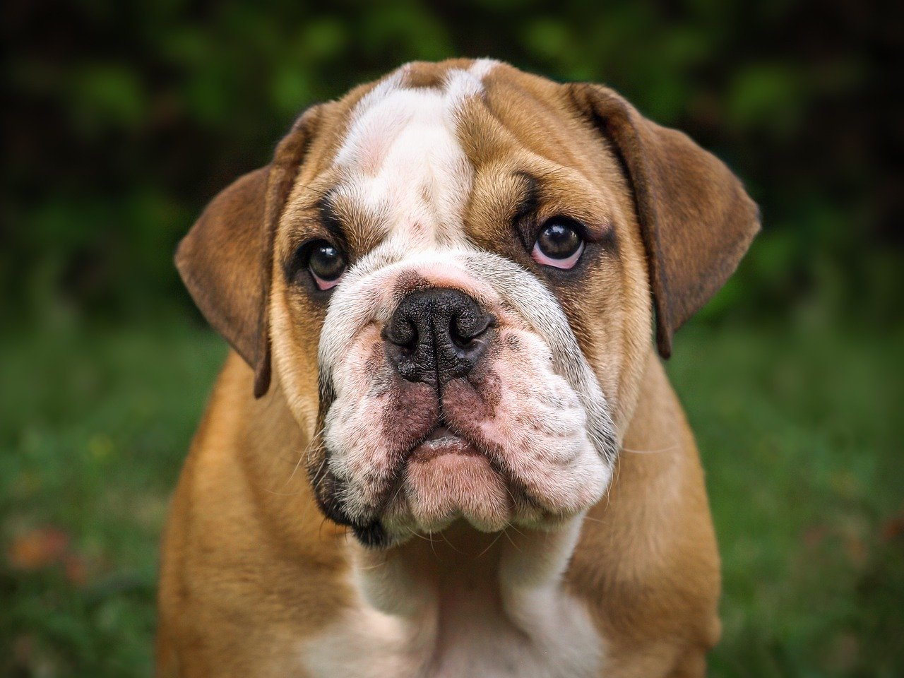 English Bulldog Puppies Breed Info And Who Needs A Bulldog Today