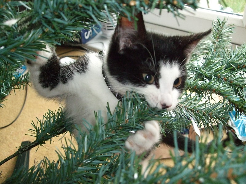 A cat bites down on an artificial Christmas tree branch.
