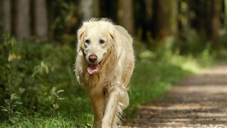 An older golden retriever walks. Is glucosamine good for dogs?