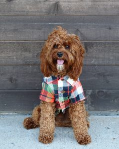 dog wearing Harvest Flannel shirt