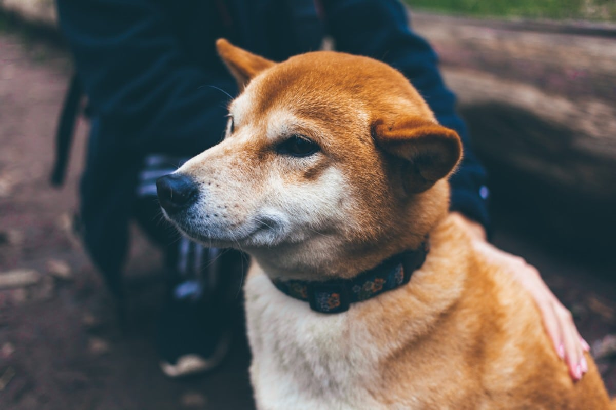 Close-up of a Shiba Inu dog.