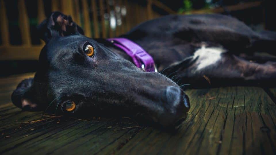 Close-up of a black dog with brown eyes, lying on a wooden deck and staring at the camera.