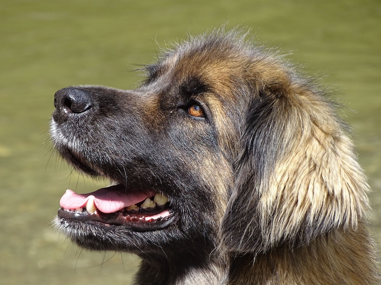 Leonberger puppies like this one are big and shaggy at an early age.