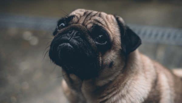 Fem mulige grunner til at hunden din skjelver, og hva du kan gjøre med det