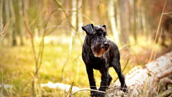 Schnauzer Grooming: The Essential Guide with Pictures of Haircut Styles