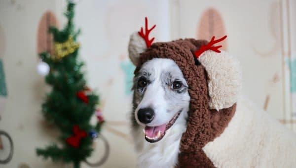 Åtta tips för att hålla hunden säker runt julgranen