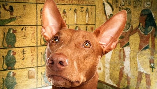 10 Fun Pharaoh Hound Facts for King Tut Day