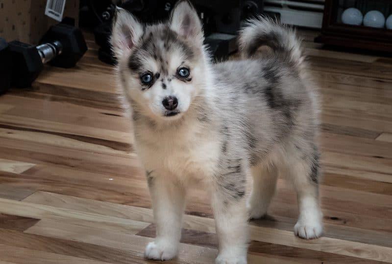 Pomsky Puppies A Comprehensive New