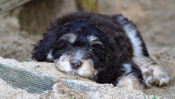 Aussiedoodle Grooming: The Essential Guide with Pictures of Haircut Styles